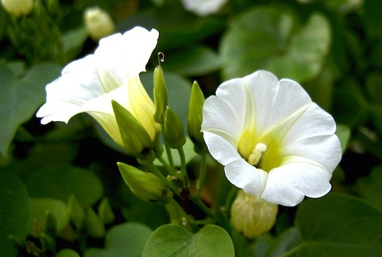 Ololiuqui Seeds :: Rivea corymbosa