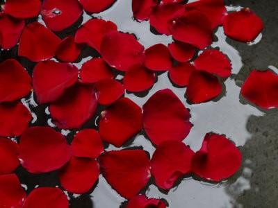 Rose Petals :: Pink Rosa gallica