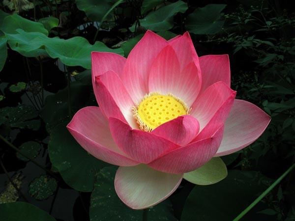Sacred Lotus :: Nelumbo nucifera
