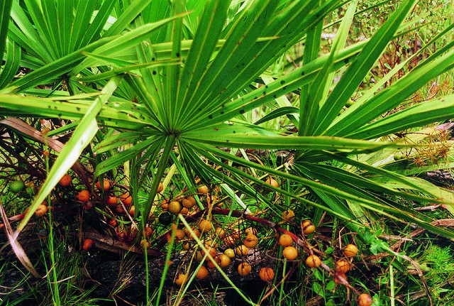 Saw Palmetto Berry :: Serenoa repens