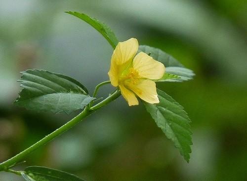 Country Mallow :: Sida cordifolia