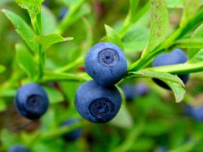 Bilberry Fruit :: Vaccinium myrtillus