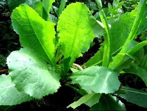 Wild Lettuce, Opium Lettuce :: Lactuca Virosa