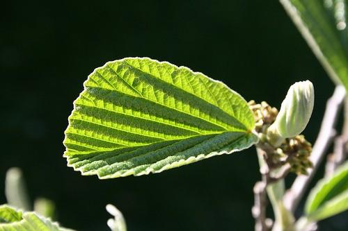 Witch Hazel :: Hamamelis virginiana :: Bark and Leaf
