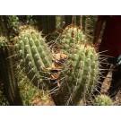 Achuma Cactus :: Trichocereus bridgesii