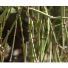 Mormon Tea (American Ma Huang) :: Ephedra viridis