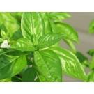 African Wormwood :: Artemisia afra