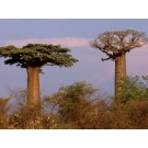 Baobab Tree :: Adansonia digitata