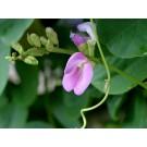 Baybean :: Canavalia rosea