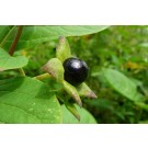 Belladonna :: Atropa belladonna