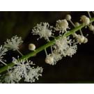 Black Cohosh :: Cimicifuga racemosa