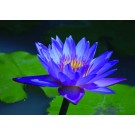 Blue Lotus :: Nymphaea caerulea