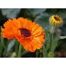 Calendula Flowers :: Calendula officinalis