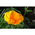 California Poppy :: Eschscholzia californica