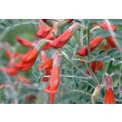 Cancer Bush, Balloon Pea :: Sutherlandia frutescens