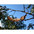 Cebil :: Anadenanthera colubrina
