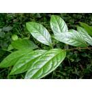 Chacruna :: Psychotria viridis