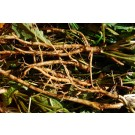 Dandelion Root :: Taraxacum officinale