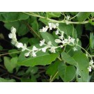 Fo-Ti Root :: Polygonum multiflorum