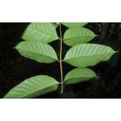 Yaoma :: Silkrubber Plant :: Funtumia elastica
