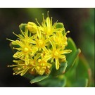 Golden Root :: Rhodiola rosea