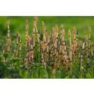 Horsetail :: Equisetum arvense