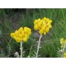 Imphepho, Kooigoed :: Helichrysum odoratissimum