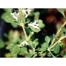Inebriating Mint :: Lagochilus inebrians