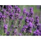 Lavender :: Lavandula officinalis