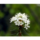 Marsh Tea or Wild Rosemary :: Ledum palustre