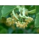Linden Flower :: Tilia europaea