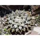 Living Rock Cactus :: Ariocarpus Fissuratus