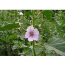 Marshmallow :: Althaea officinalis