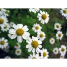Chamomile :: Matricaria chamomilla