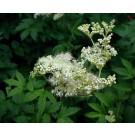 Meadowsweet :: Filipendula ulmaria
