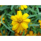 Mexican Mint Marigold :: Tagetes lucida