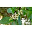 Muna Muna :: Satureja parvifolia