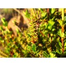 Resurrection Plant :: Myrothamnus flabellifolius