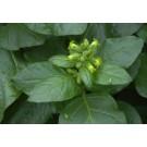 Sacred Tobacco :: Nicotiana rustica