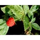 Raspberry Leaf :: Rubus idaeus
