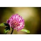 Red Clover Blossom, Seeds :: Trifolium pratense