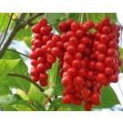 Schisandra Berries :: Schisandra chinensis
