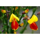 Scotch Broom :: Cytisus scoparius