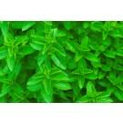 Spearmint :: Mentha spicata
