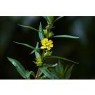 Sun Opener, Sinicuichi :: Heimia Salicifolia