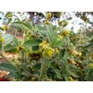 Uhaloa :: Waltheria Americana