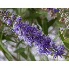 Vitex Berries :: Vitex agnus-castus