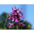 Wood Betony :: Stachys officinalis
